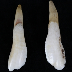 Camel Teeth (1)
