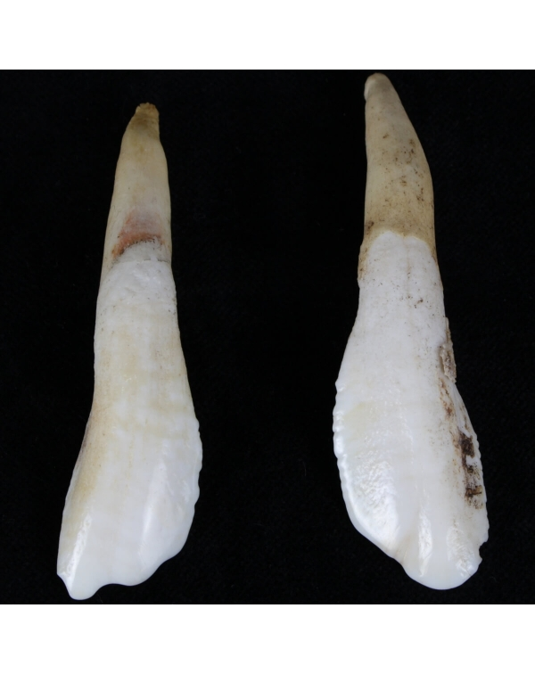 Camel Teeth