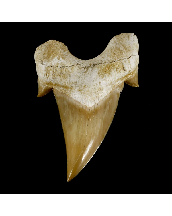 Extinct Shark Tooth - Otodus