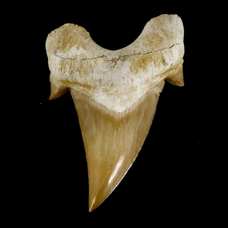 Extinct Shark Tooth - Otodus