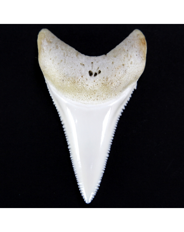 White Shark Teeth