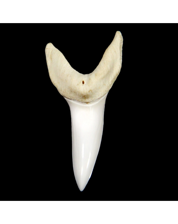 Mako Shark Tooth