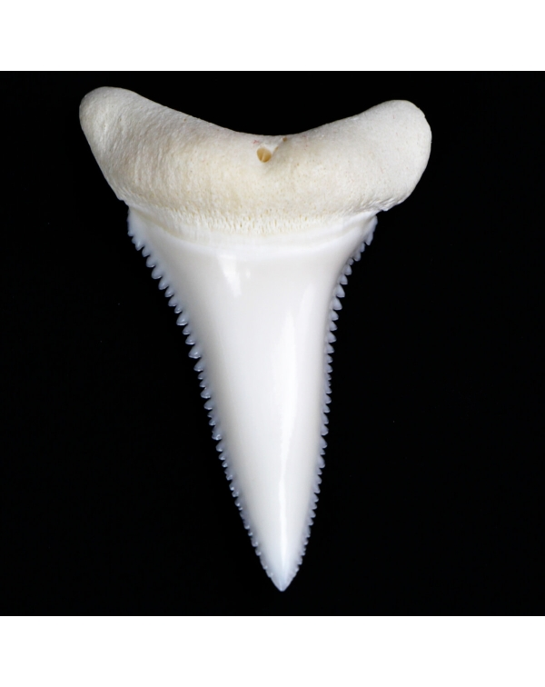 White Shark's Tooth