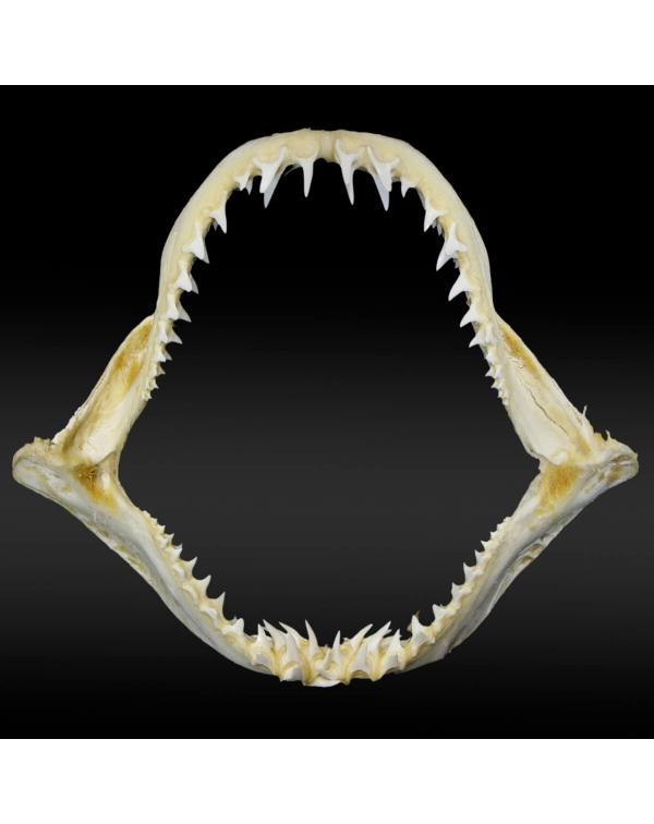 Mako Shark Lamnidae