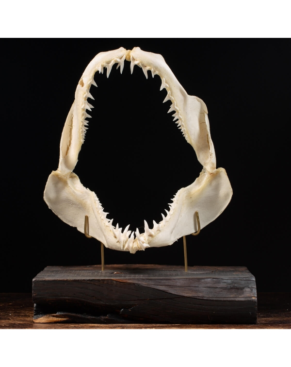 Mako Shark Mouth