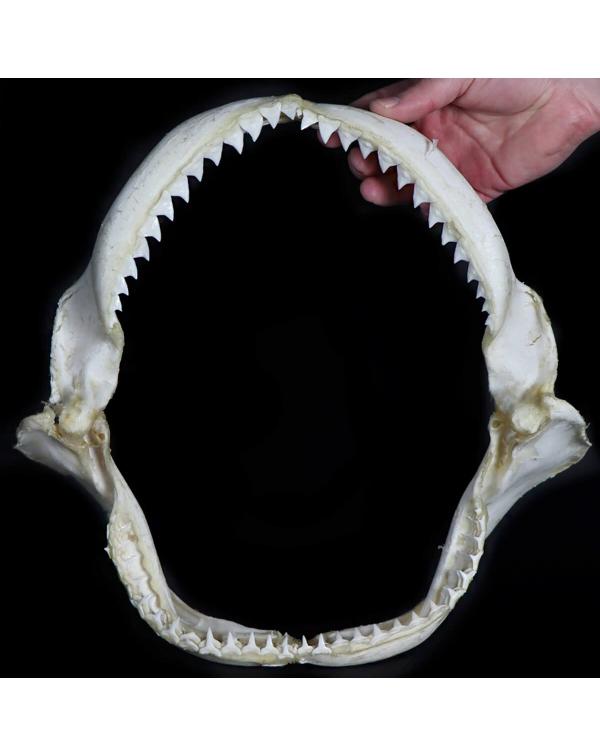 Dusky Shark Jaw