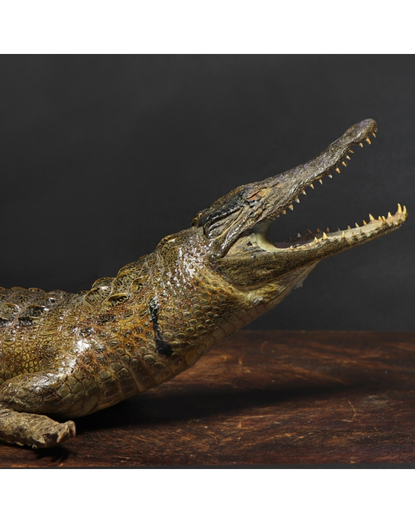 Embalmed Crocodile