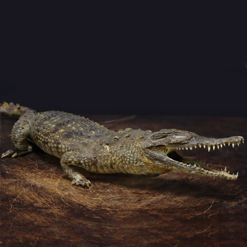 Embalmed Crocodile