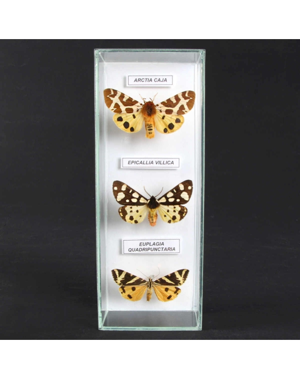 Set of Varied Exotic Moths