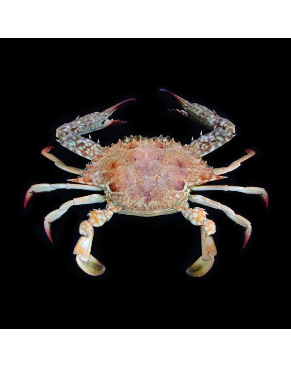 Paromola Japonica Oceano Pacifco