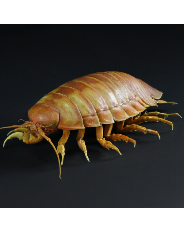 Isopode Bathynomus Giganteus