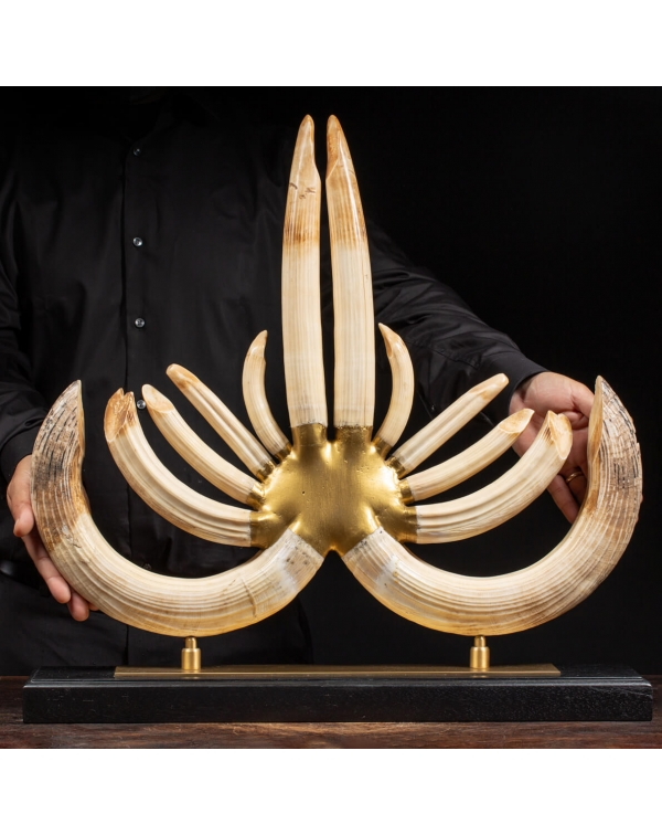 Hippopotamus Fangs Trophy