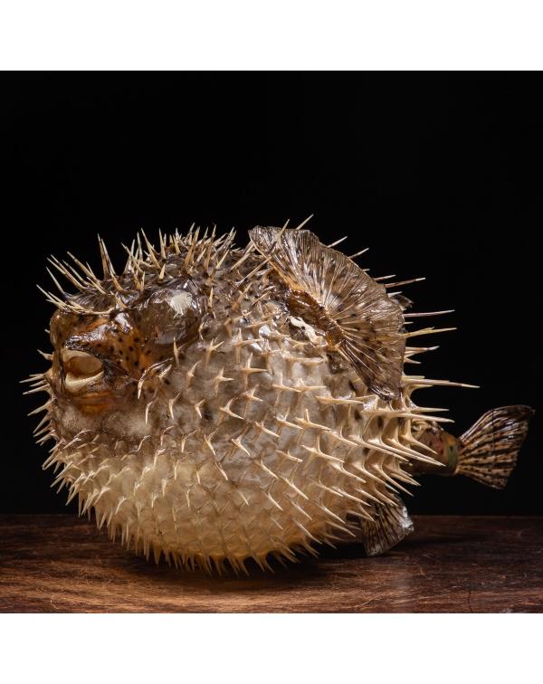 Porcupinefish - Diodon Histrix