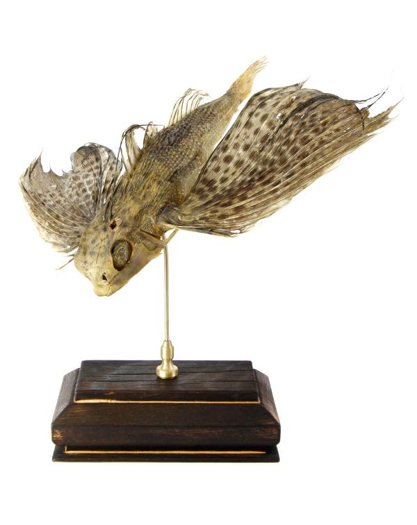 Dactylopterus Volitans - Swallow Fish