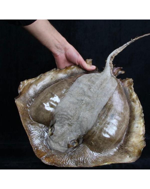 Stingray - Myliobatoidei sp.