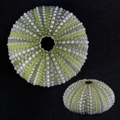 Paracentrotus Lividus (1)