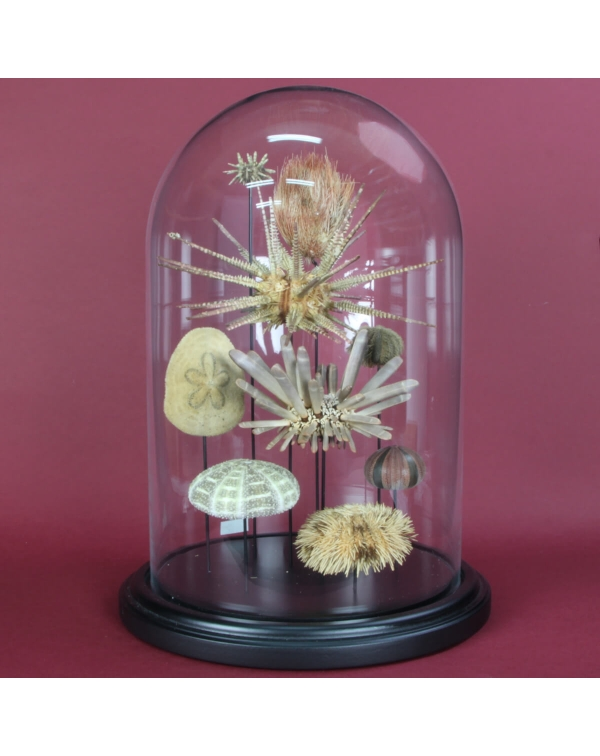 Sea Urchin under Glass Case