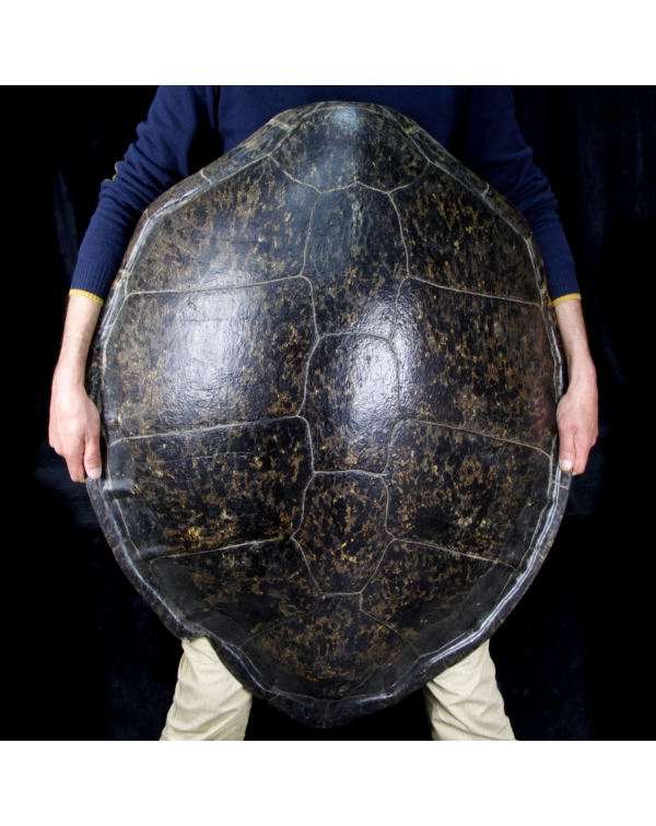 Turtle Carapace