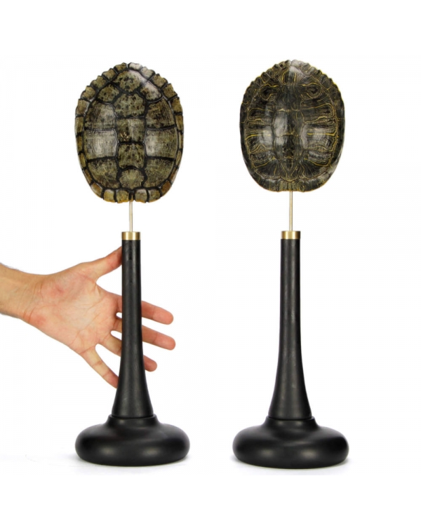 Pair of Turtle Carapace on Pedestal