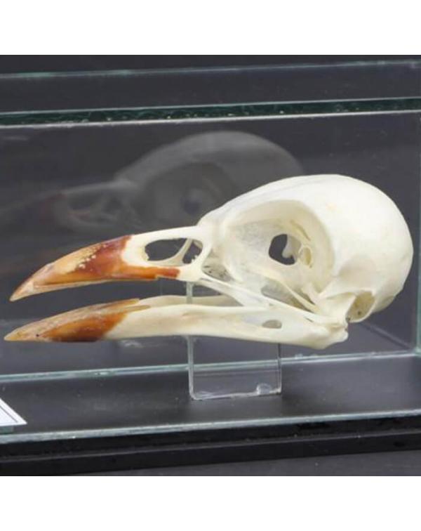 Jackdaw Skull - Corvus Monedula