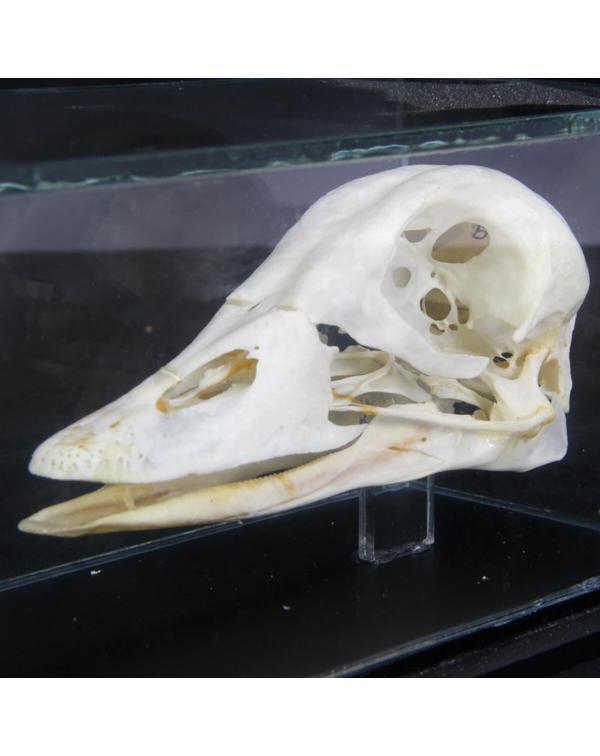 Red Neck Goose Skull - Branta Ruficollis