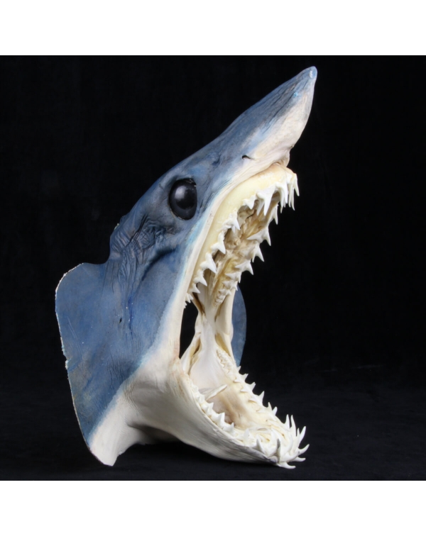 Mako Shark's Head