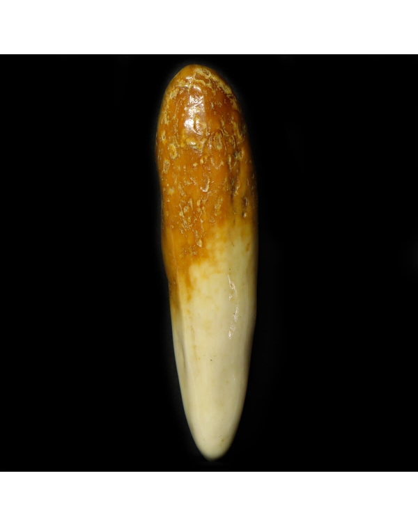 Walrus Tooth