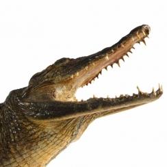 Crocodiles (3)