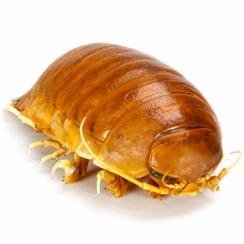 Isopods (1)