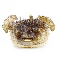 Puffer Fish (6)
