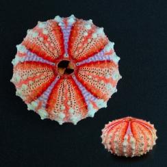 Sea Urchin (41)