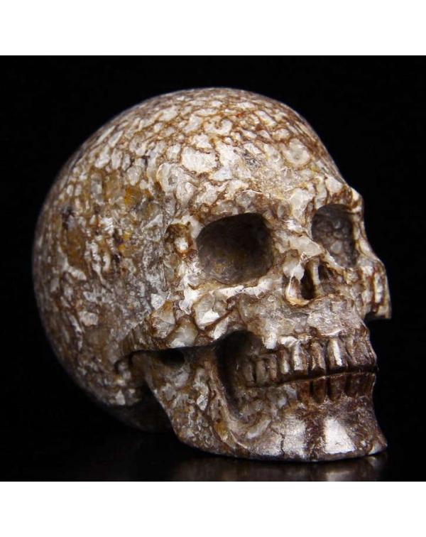 Dinosaur Sauropoda Bone Fossil Skull