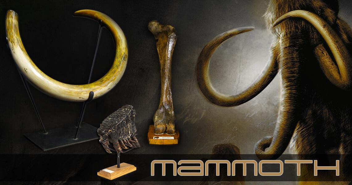 Fossils - Mammoth