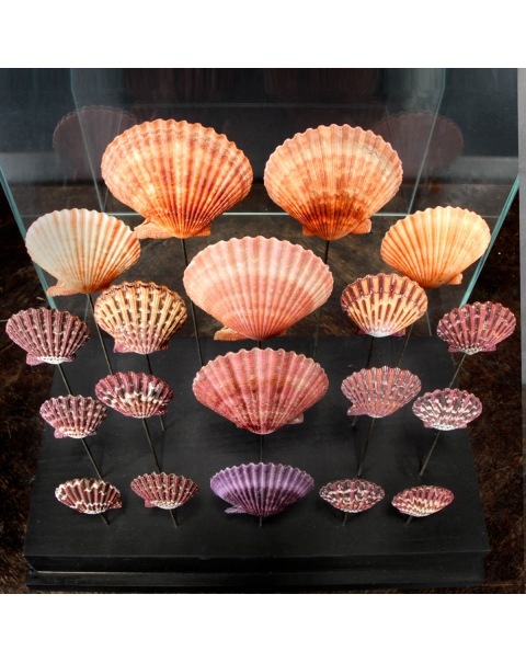 Shells Under Glass Dome