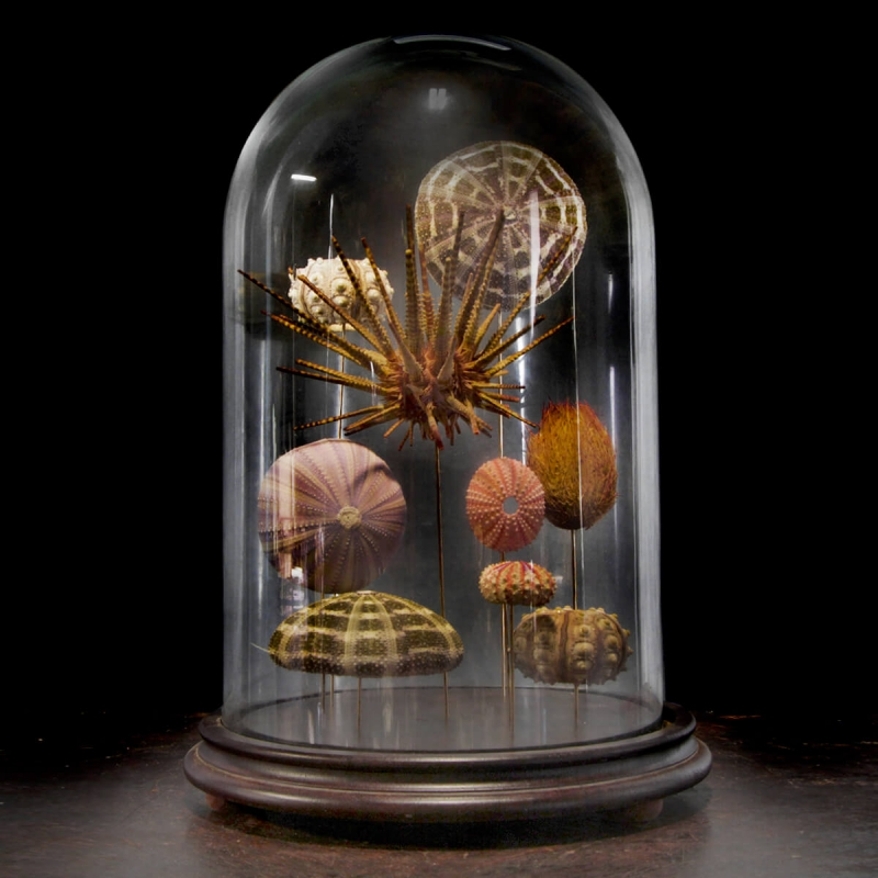Sea urchins under bell glass