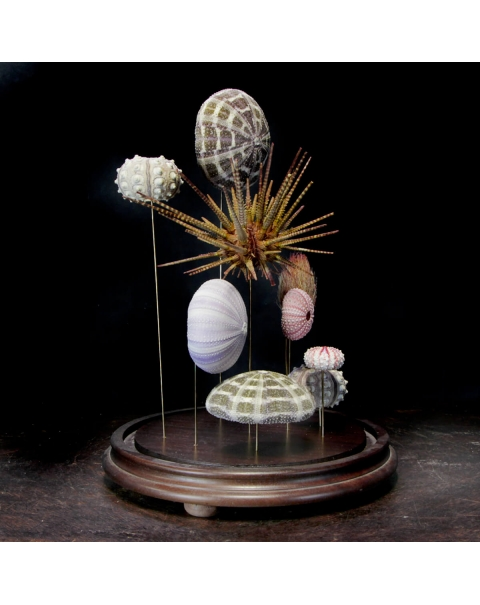 Sea urchins under bell glass