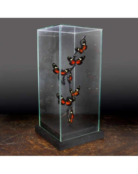 Butterflies in a glass case