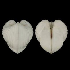 Meiocardia Moltkiana (1)