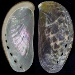 Haliotis Asinina (1)