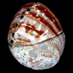 Haliotis Rufescens (5)