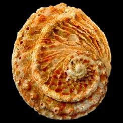 Haliotis Scalaris (2)