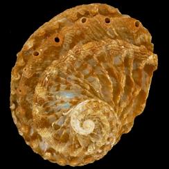 Haliotis Scalaris (1)