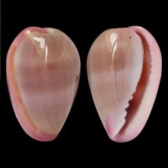 Bullata Lilacina (1)