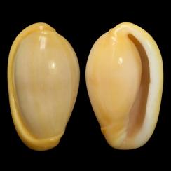 Closia Giadae (3)