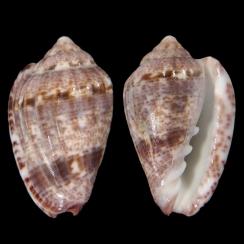 Glabella Mirabilis (2)