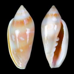 Marginella Desjardini (1)