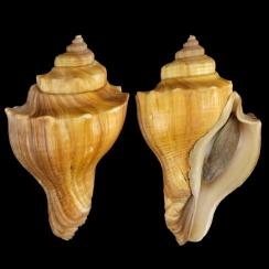 Volegalea Cochlidium (7)
