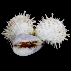 Modiolus Philippinarum & Spondylus (1)