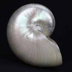 Nautilus Mother of Pearl (3)