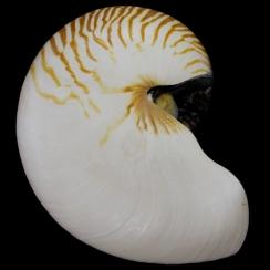 Nautilus Pompilius (5)